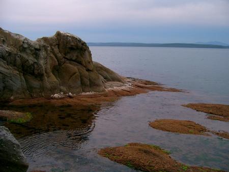 молодая морская капуста застилает камни