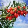 Вторая Выставка отрасли выращивания ягод годжи проходит в Чжуннине