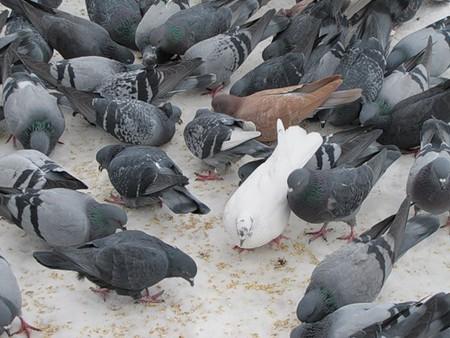 голубям морозы первогодня зимы нипочём...