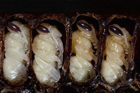 Личинки пчел — карамелеобразная сладкая масса, которая подается с рисом