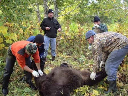 дербанят медведя — бедолагу
