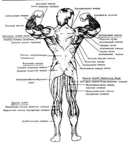 Сроение мышц человека (задняя часть)