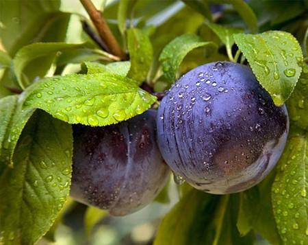Экзотическая еда с другой планеты: необычные гибриды овощей и фруктов на нашем столе — фото 5