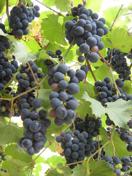 Виноград в саду хозяев
