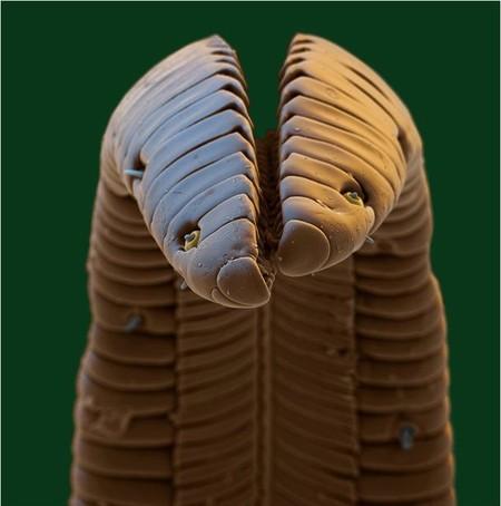 Кончик язычка малютки — колибри