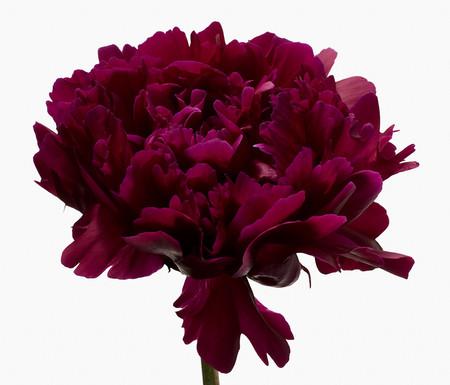 Big Blooms – когда позируют цветы — фото 9