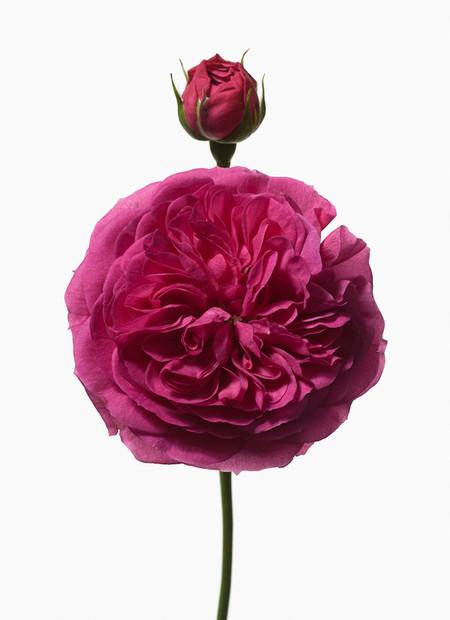 Big Blooms – когда позируют цветы — фото 25