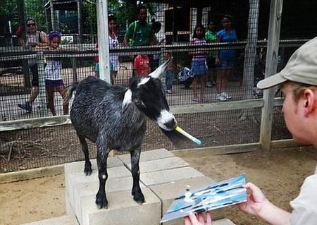 Это его коллега, коза Домино, менее популярная — не так сильно любит рисовать. Ну не каждому дано, что поделаешь )))