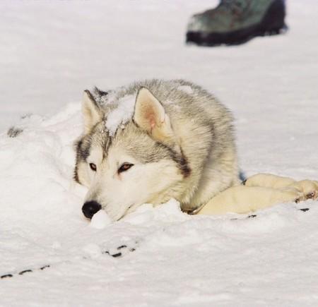 «Белый плен» - история о дружбе, совести и выживании. О собаках. — фото 17