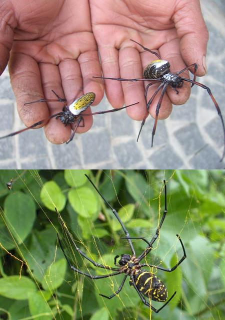 Тот самый Мадагаскарский золотой паук-кругопряд