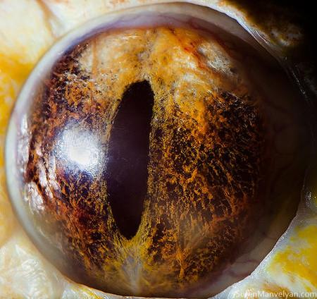Глаз тигрового питона — альбиноса