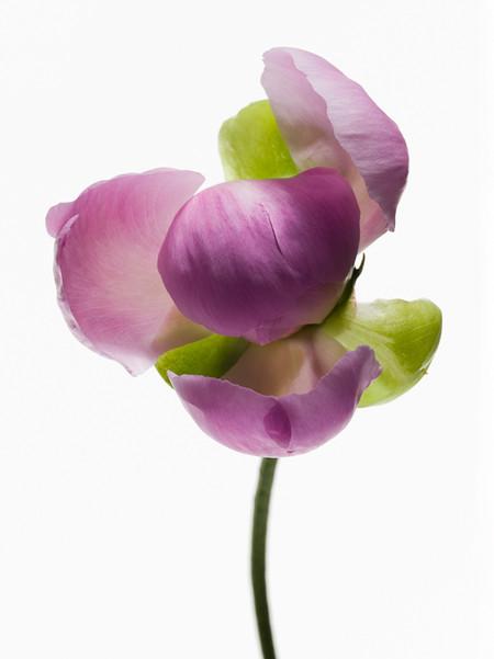 Big Blooms – когда позируют цветы — фото 13