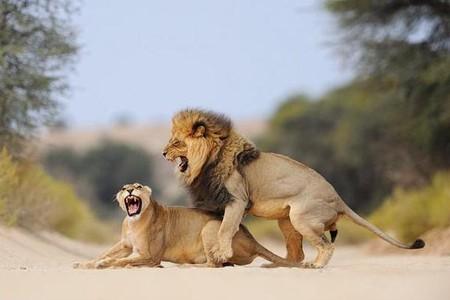 Тот самый снимок, после которого лев пришел в гости к Ханнесу