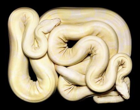 Гвидо Мокафико (Guido Mocafico) - Повелитель змей — фото 9