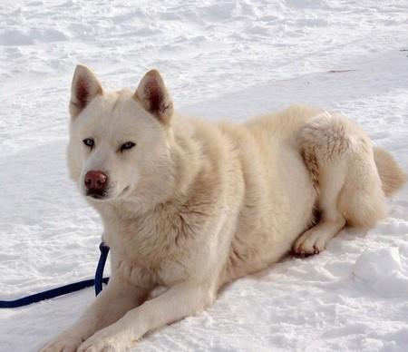 «Белый плен» - история о дружбе, совести и выживании. О собаках. — фото 10