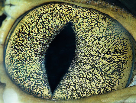 Красивый глаз каймана