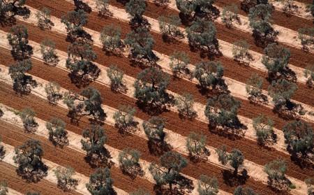 Испания, Андалусия, оливковая плантация
