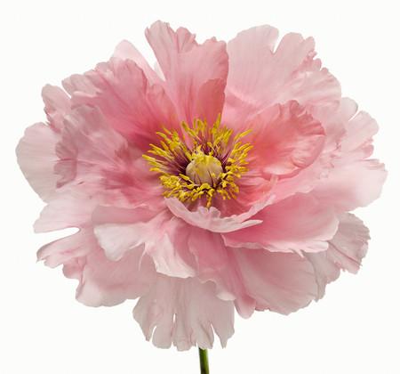 Big Blooms – когда позируют цветы — фото 20
