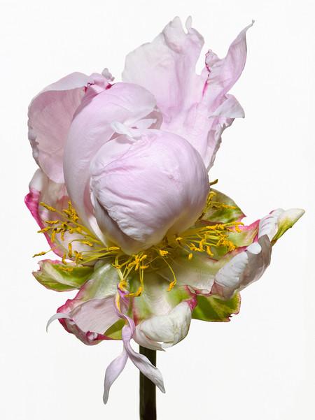 Big Blooms – когда позируют цветы — фото 5