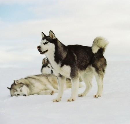 Голубоглазые волки ...