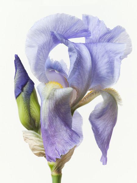 Big Blooms – когда позируют цветы — фото 22