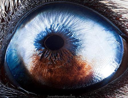Глаза у хаски часто разноцветные — это левый ...