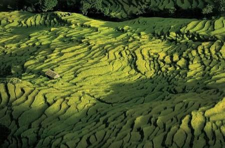 Непал, рисовые поля