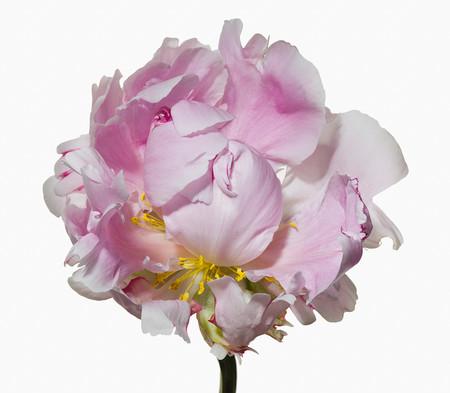 Big Blooms – когда позируют цветы — фото 28