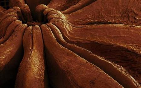 Звездочка аниса