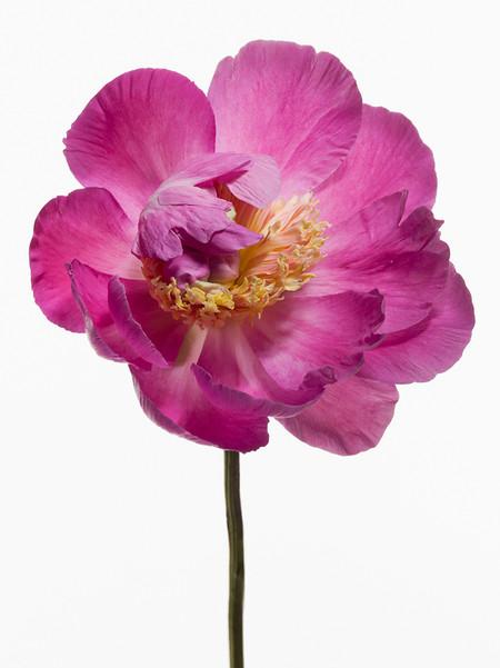 Big Blooms – когда позируют цветы — фото 26