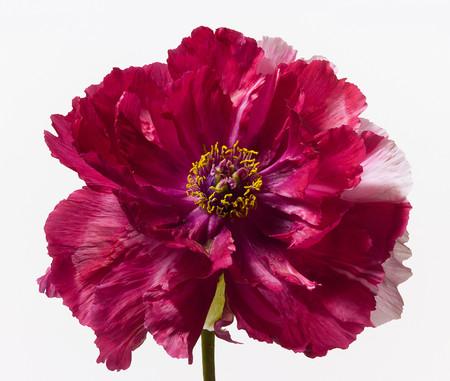 Big Blooms – когда позируют цветы — фото 19