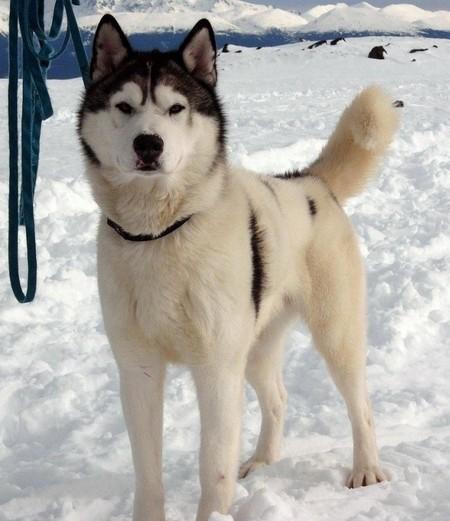 «Белый плен» - история о дружбе, совести и выживании. О собаках. — фото 14
