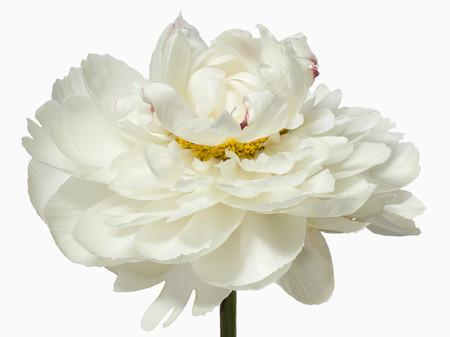 Big Blooms – когда позируют цветы — фото 14
