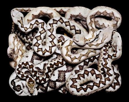 Гвидо Мокафико (Guido Mocafico) - Повелитель змей — фото 8