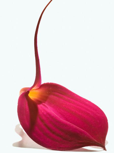 Big Blooms – когда позируют цветы — фото 17