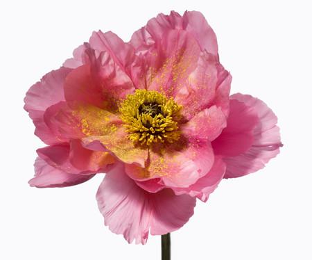 Big Blooms – когда позируют цветы — фото 23