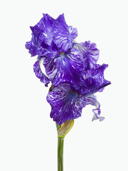 Big Blooms – когда позируют цветы — фото 24