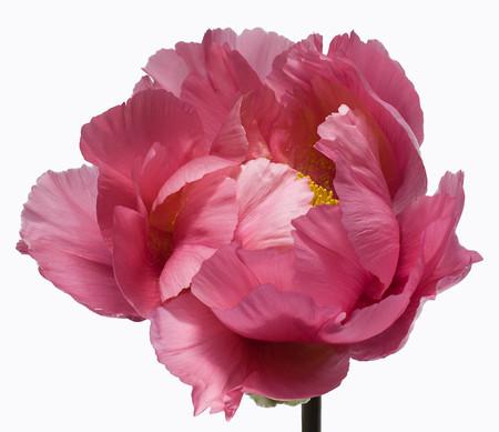 Big Blooms – когда позируют цветы — фото 11