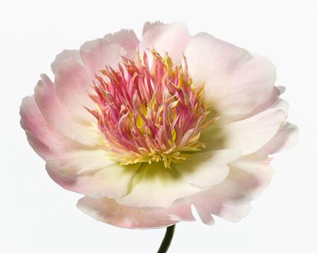 Big Blooms – когда позируют цветы — фото 21