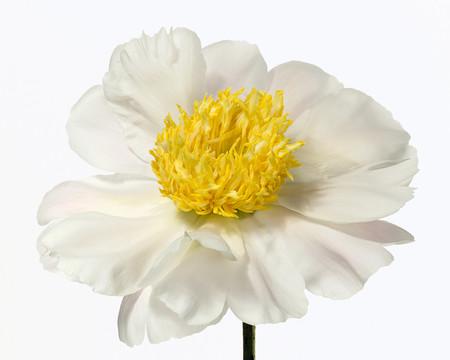 Big Blooms – когда позируют цветы — фото 16