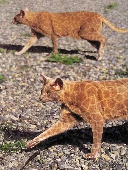 Это не фотошоп, это коты из салона красоты возвращаются )