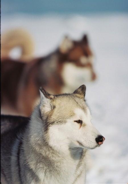 «Белый плен» - история о дружбе, совести и выживании. О собаках. — фото 21
