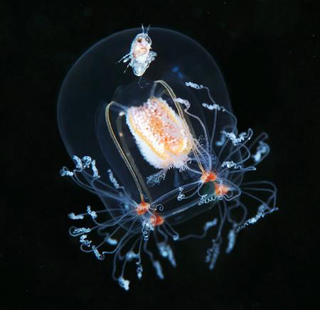Эту красотку зовут Bougainvillia superciliaris