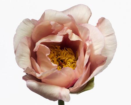 Big Blooms – когда позируют цветы — фото 12