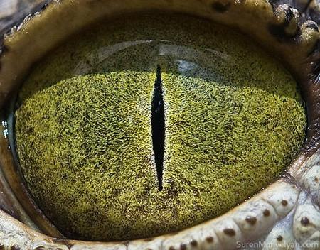 Посмотрите в эти красивые глаза — это зеркало души нильского крокодила )