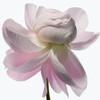 Big Blooms – когда позируют цветы