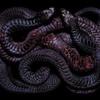Гвидо Мокафико (Guido Mocafico) - Повелитель змей
