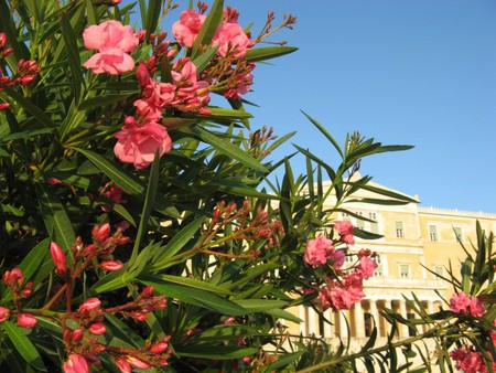 здание Афинского парламента сквозь призму розового куста