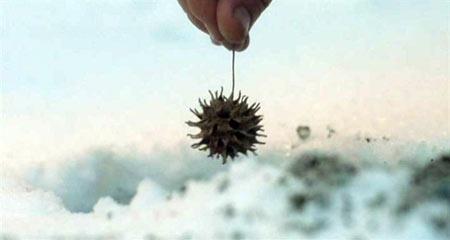 Засушенный плод, когда-то подаренный Изи