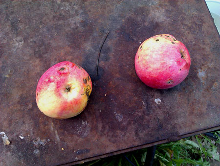 И лишь яркие пятна яблок на ржавом полотне, нависающей осени